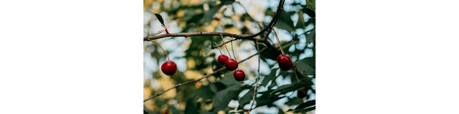 Antracnoza sau patarea purpurie (blumeriela jaapi) la pomii fructiferi