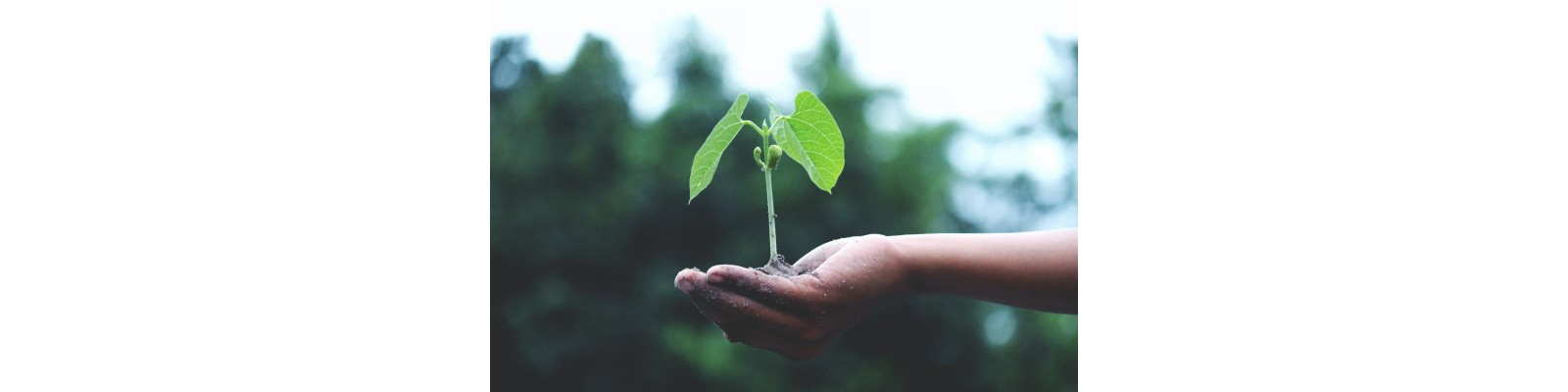 Doza si mod de aplicare la culturile horticole a biostimulatorului Sprintene