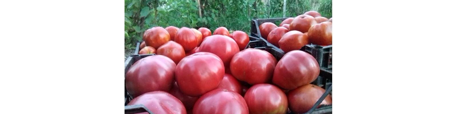 Cultura de tomate Rozov Blyan – Guest-Post de Traian Voinea