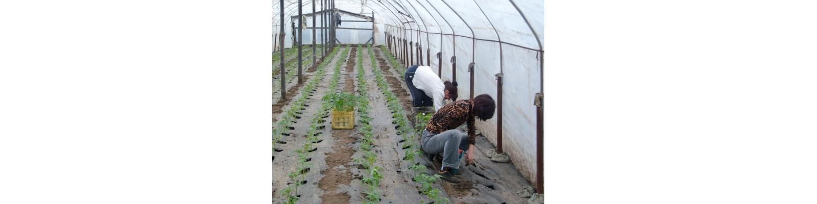 Plantatul legumelor