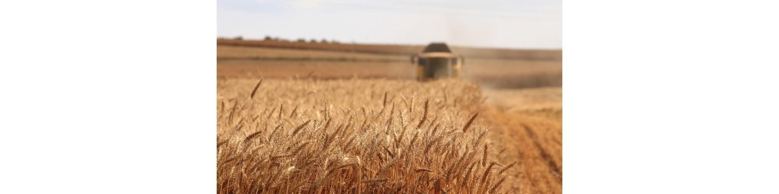 Simptomele carentei de fosfor la cereale