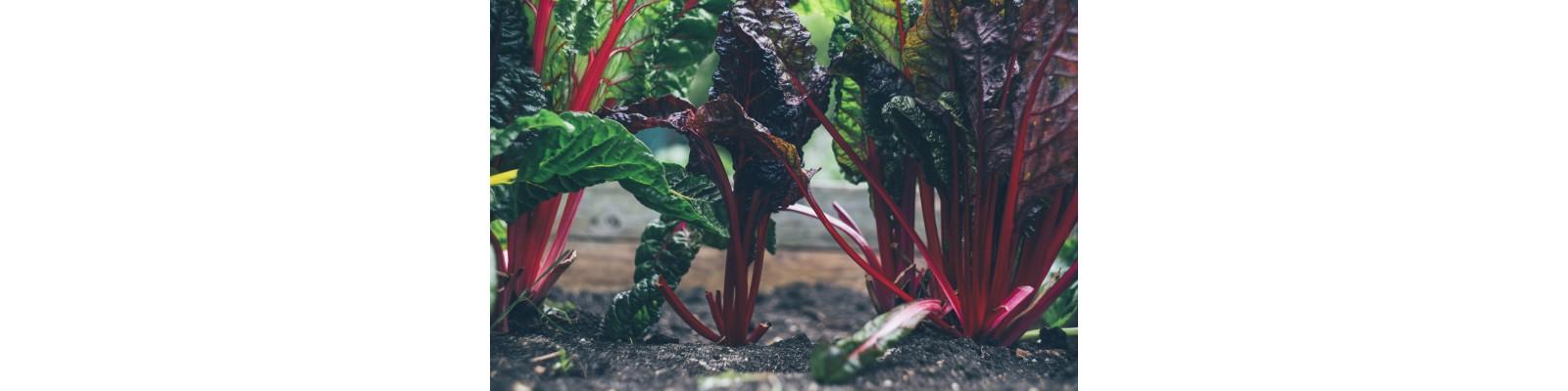 Bolile si daunatorii in culturile de sfecla rosie