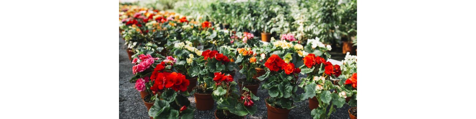 Specii de flori cultivate in sera