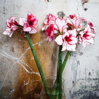 Bulbi de amaryllis