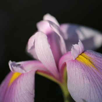 Bulbi de iris