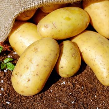 Cartofi pentru samanta