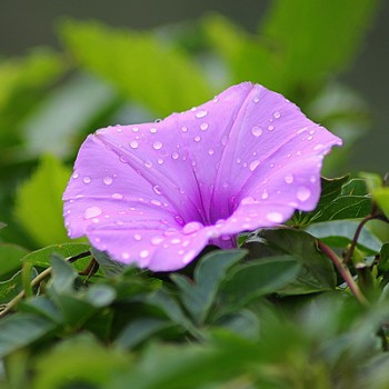 Flori cataratoare