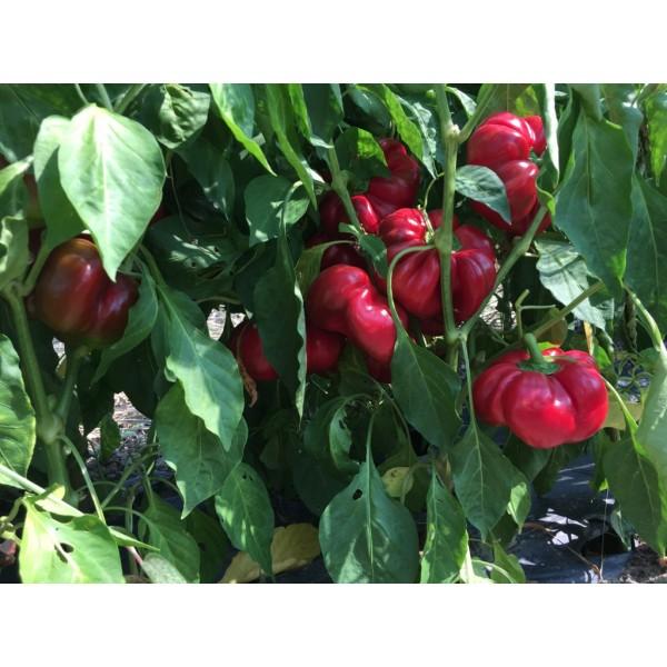 Seminte de ardei gogosar gigant Bucur, 10 grame, Patru Agro