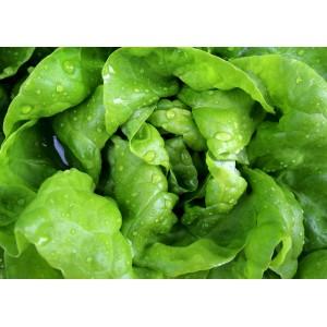 Seminte de salata Frauke, 100 grame, Satimex