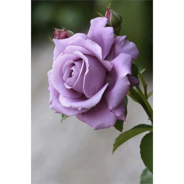 Butas de trandafir teahibrid mov, 1 bucata