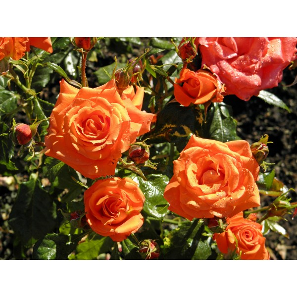 Butas de trandafir urcator portocaliu, 1 bucata