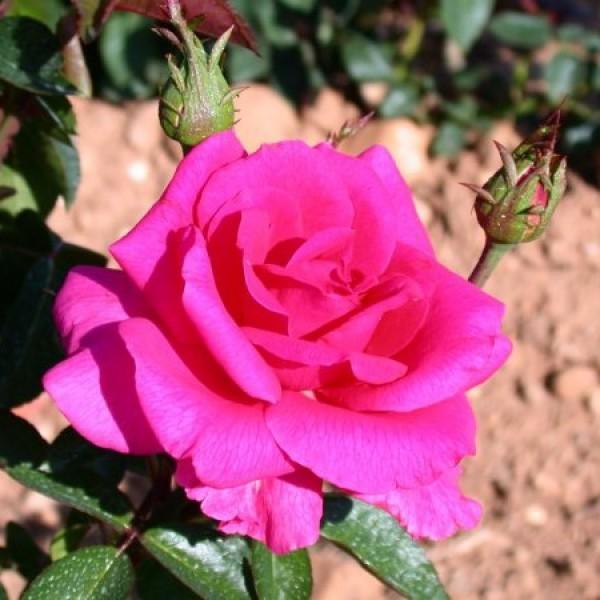 Butas de trandafir teahibrid ciclam (cutie de carton), 1 bucata