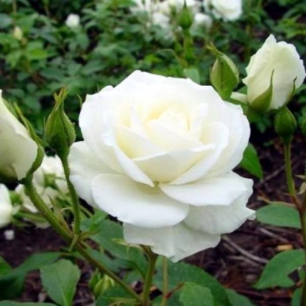 Butas de trandafir teahibrid alb (cutie de carton), 1 bucata