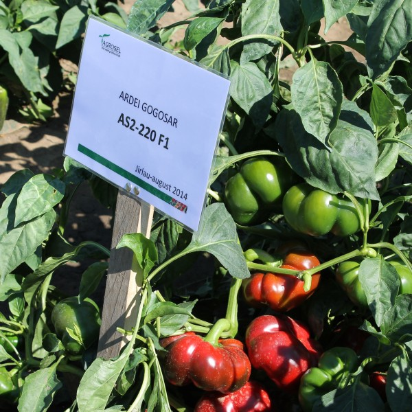 Seminte de ardei gogosar Traian F1, 100 seminte, Hektar