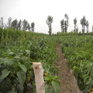 Seminte de ardei gras semitimpuriu Barbara, 2000 seminte, Agrosel