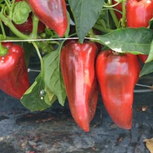 Seminte de ardei kapia semitimpuriu Dumbo 34, 1 gram, Agrosel