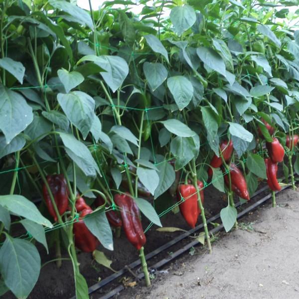 Seminte de ardei kapia semitimpuriu Napoca F1, 100 seminte, Hektar