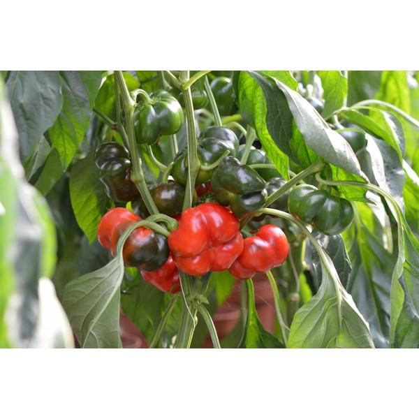 Seminte de ardei gogosar AS-210 F1, 500 seminte, Hektar