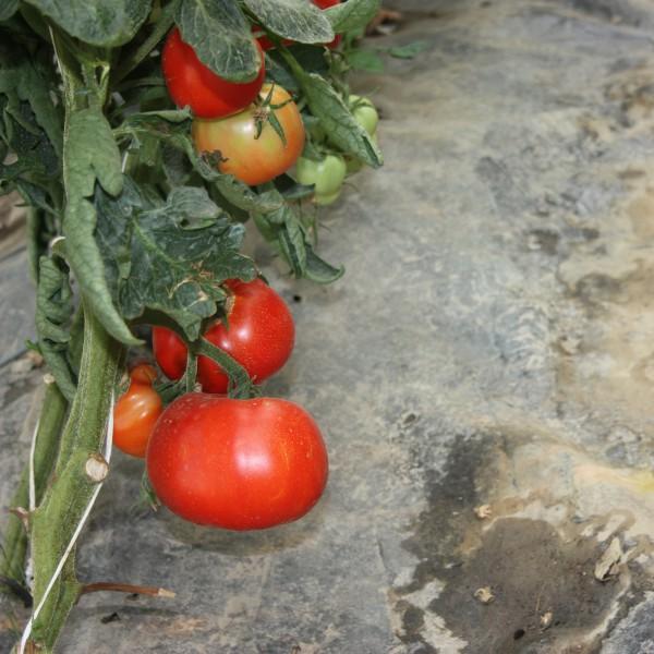 Seminte de tomate Elisabeta, 1 gram, Agrosel