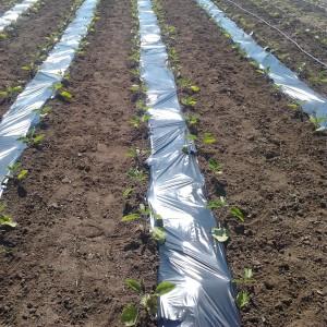Seminte de vinete Alexandra,  0,8 grame, Agrosel
