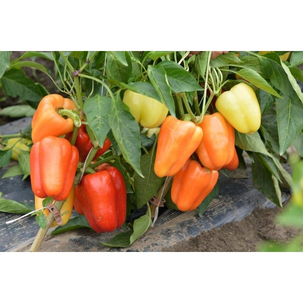 Seminte de ardei gras Valahia F1, 500 seminte, Hektar