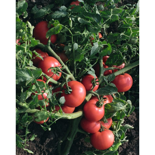 Seminte de tomate Sultan F1, 5 grame, Bejo