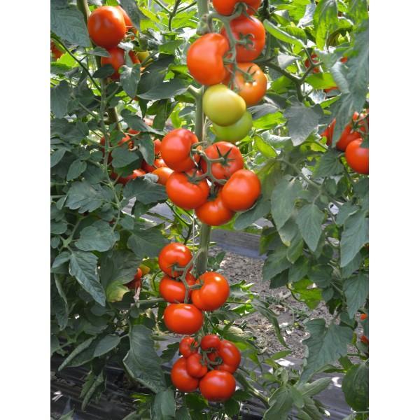 Seminte de tomate Tobolsk F1, 250 seminte, Bejo