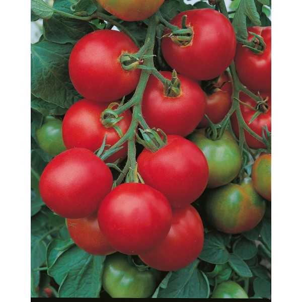 Seminte de tomate Tolstoi F1, 5 grame, Bejo