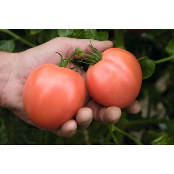 Seminte de tomate Torbay F1, 1000 seminte, Bejo