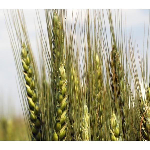Seminte de grau de toamna Koreli, categoria biologica Baza, fara redeventa inclusa, 500 Kg