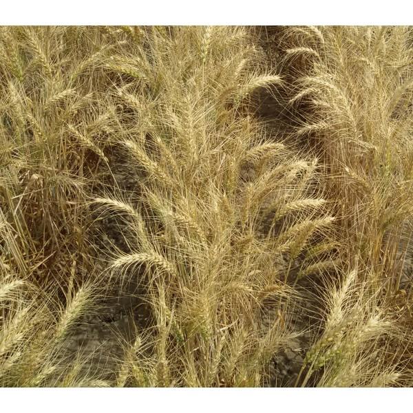 Seminte de grau de toamna Promitor, categoria biologica Baza, fara redeventa inclusa, 25 Kg