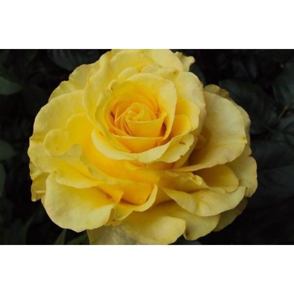 Butas de trandafir teahibrid Glorious