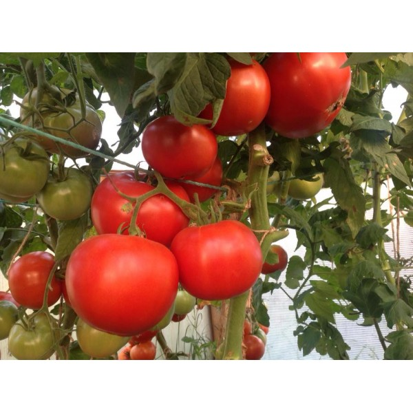 Seminte de tomate Amati F1, 20 seminte