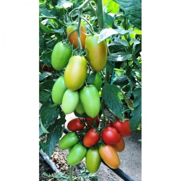 Seminte de tomate Oceano F1, 500 seminte, Sakata