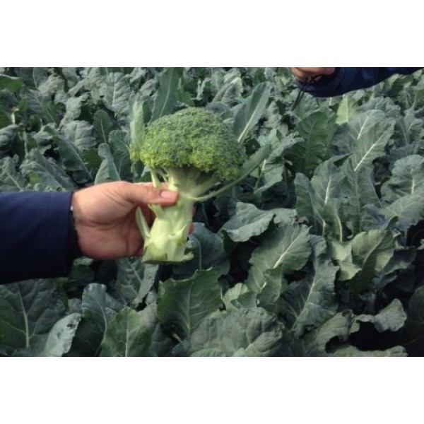 Seminte de broccoli Orantes F1, 2500 seminte, Rijk Zwaan