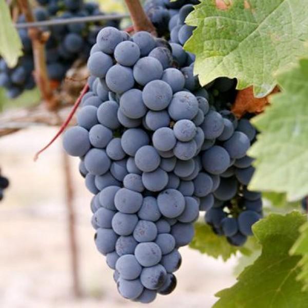 Butasi de vita de vie de vin Merlot, 1 bucata, SemPlus