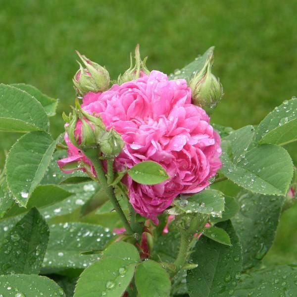 Butas de trandafir de dulceata, 1 bucata
