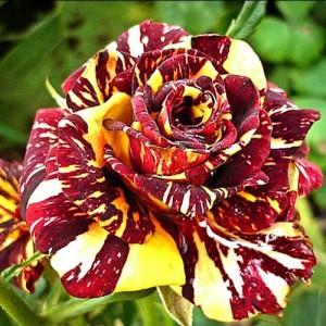 Butas de trandafir teahibrid Abracadabra 1 (cutie de carton), 1 bucata