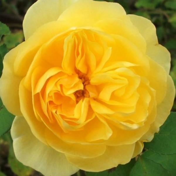 Butas de trandafir teahibrid galben, 1 bucata