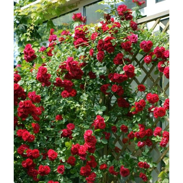 Butas de trandafir urcator rosu, 1 bucata