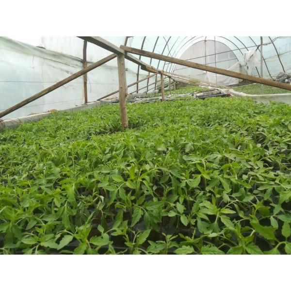 Rasaduri de legume - Tomate Kalina F1, 1 fir, Tudor Tudorache