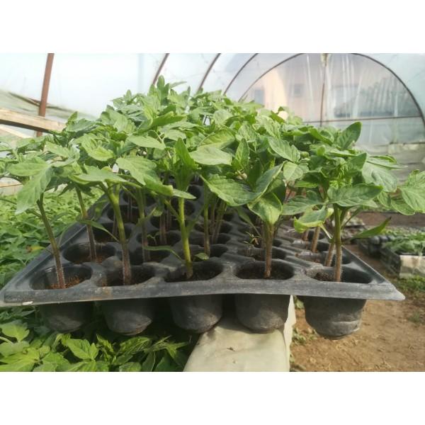 Rasaduri de legume - Tomate Rio Grande, 1 fir, Tudor Tudorache