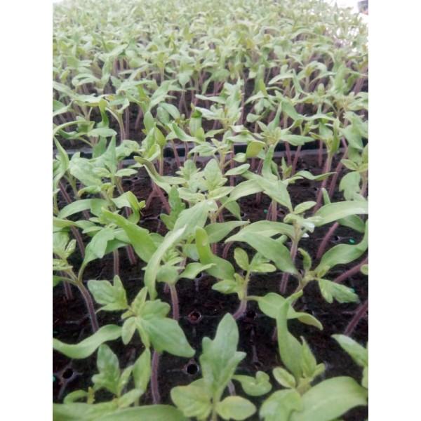 Rasaduri de legume - Tomate Polfast, 1 fir, Nedelcu Dumitru