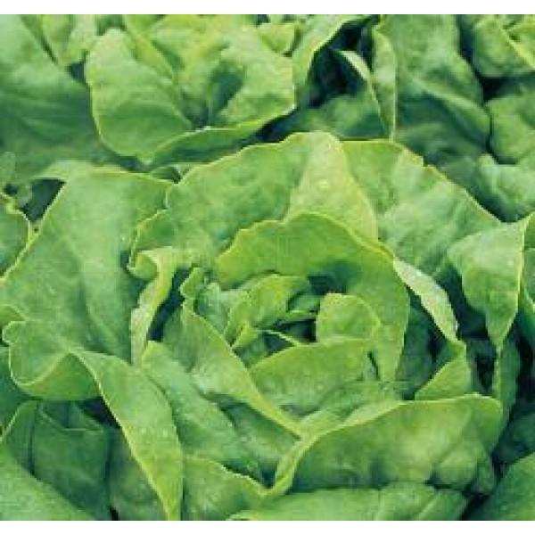 Salata ALANIS (DRAJATA) - 5000 SEMINTE