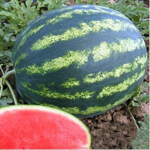 Seminte de pepene verde Bonta F1, 250 seminte, Seminis