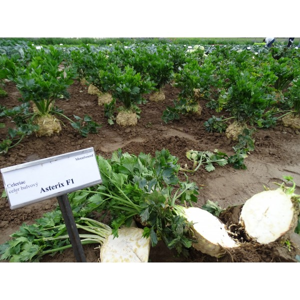 Seminte de telina pentru radacina Asterix F1, 2500 seminte, Moravo Seed