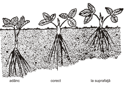 Plantarea_capsunilor